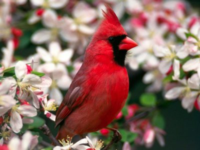 Red Bird Normal HD Wallpaper
